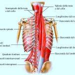 muscoli-del-torace-profondi--1024x797_771x600